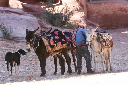 Donkeys working as transport and pack animals in Petra, Jordan. Persistent animals used to transport tourists around the ancient Nabatean city in the mountains.
