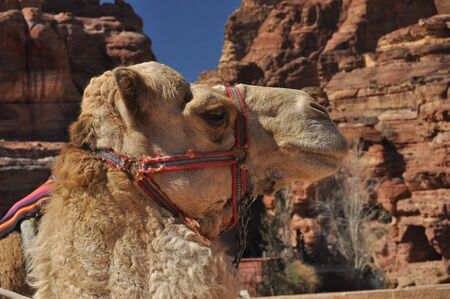 Dromedary camel in the ancient city of Nabe Petra. Tourist attraction and transport for visitors. A ship of the desert, traveling in caravans.