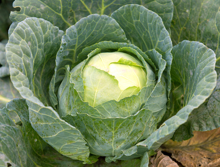 cabbage patch: Big green cabbage in garden Stock Photo