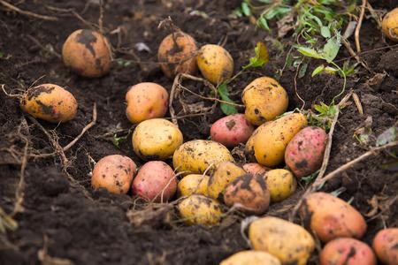raw potato: fresh and raw potato on a field
