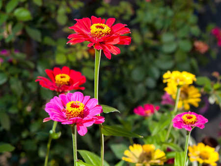 saturate: Bright, saturate red, pink flowers in garden Stock Photo