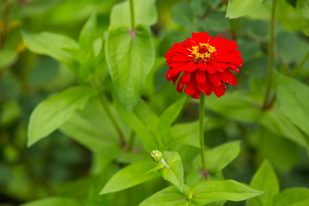 saturate: Bright, saturate red flower in garden alone