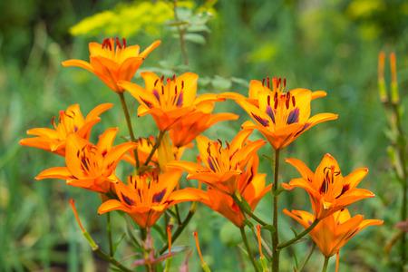 orange lily: orange lily flowers in garden Stock Photo
