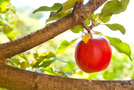 arbol de manzanas: Manzanas rojas en rama de un �rbol de manzana Foto de archivo