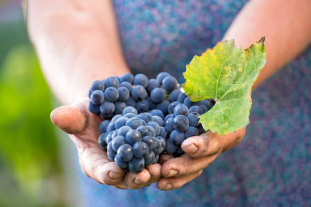 Close up of the hands of a vintner or grape farmer inspecting the grape harvest 版權商用圖片
