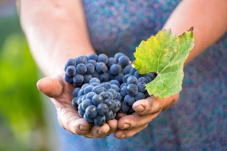 Close up of the hands of a vintner or grape farmer inspecting the grape harvest Standard-Bild