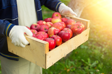 Man hold big box with beautiful clean apple in garden photo