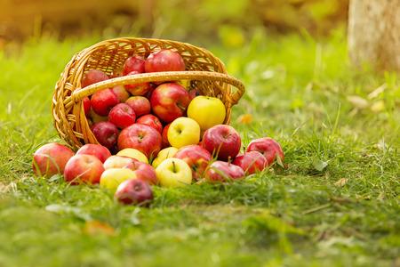 arbol de manzanas: Manzanas org�nicas sanas en la cesta en la hierba verde en el sol