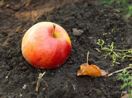steadiness: Red yellow Apple on Soil from Above Stock Photo