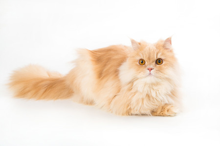 Young persian cat isolated on white. Persian cat portrait with beautiful eyes 版權商用圖片