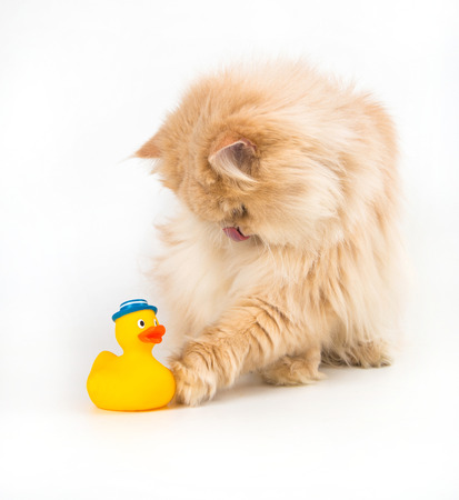 lurking: Cat kitty is lurking artificial duck colorful toy for pets Stock Photo