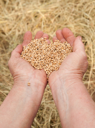 afield: Old woman hand with seeds and wheat land