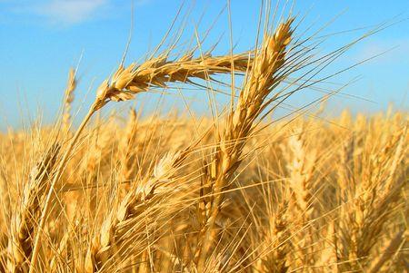 Wheat Field California