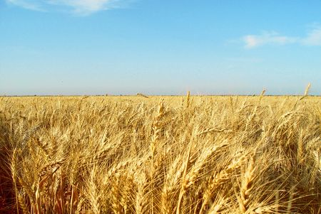 Wheat Fields 2 Stock Photo - 2583808