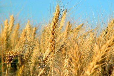 Wheat Fields 3