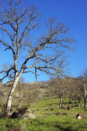 California Oak Tree Forest