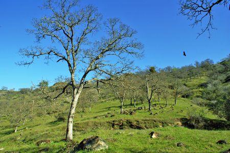 California Oak Tree with Eagle