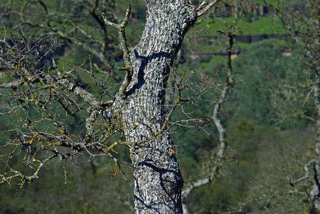 Oak Tree Branches Stock Photo