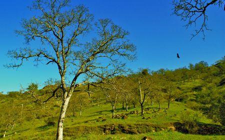 California Oak Tree with Eagle (saturated) Stock Photo