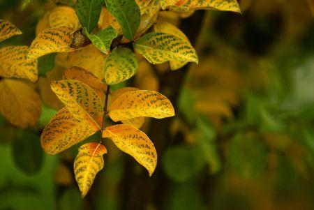 Autumn leaves in California.