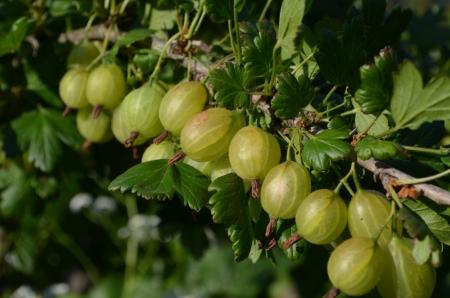 gooseberry bush: Uva spina frutta cespuglio sguardo