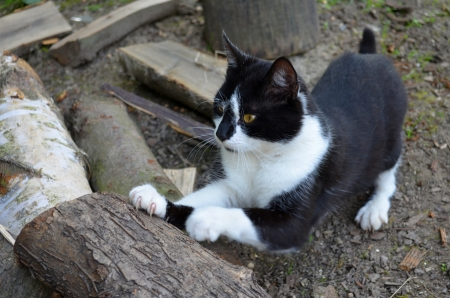 Cat sharpening claws on wood photo