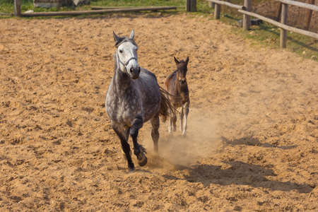 A horse with a foal running along the sand in a paddock on a ranch