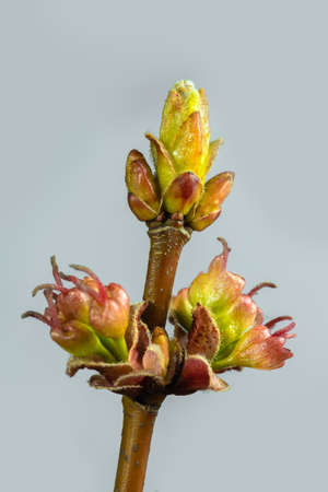 Silver Maple. Branches of leaves and buds on a white background