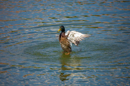 Ducks and drakes swim in the water of the lake. Mating ducks in the wild. Stok Fotoğraf