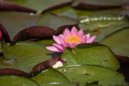 Flowers of pink and yellow lotus with green leaves on the water in the lake