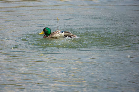 Ducks and drakes swim in the water of the lake. Mating ducks in the wild. Standard-Bild