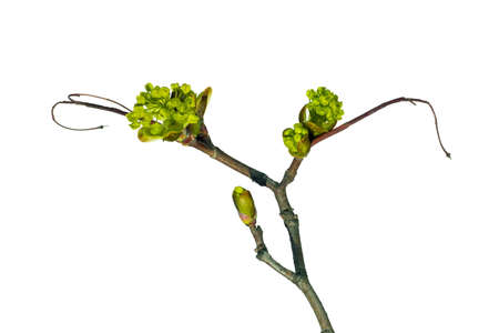 Norway maple, ordinary. Branches of leaves and buds on a white background