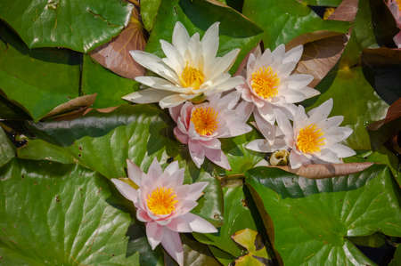 Flowers of white and pink lotus with green leaves on the water in the lake