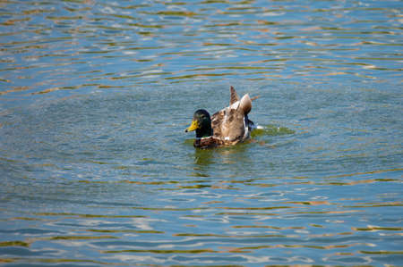 Duck and drake swim in the water of the lake
