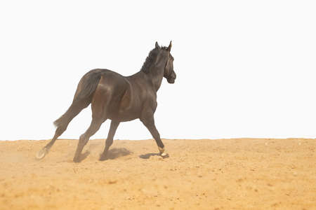 Brown Horse gallops across the sand on a white background, without people. Banco de Imagens - 156729985