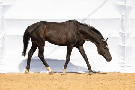 Brown Horse gallops across the sand on a white background, without people.