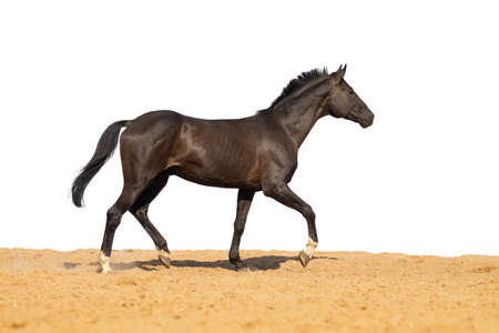 Brown black Horse gallops across the sand on a white background, without people. Stockfoto