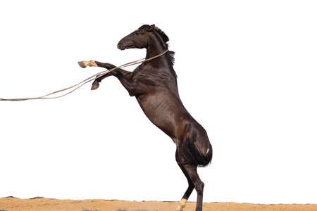 Brown black Horse gallops across the sand on a white background, without people.