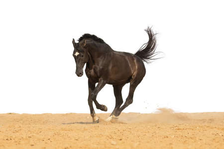 Brown horse jumps on sand on a white background