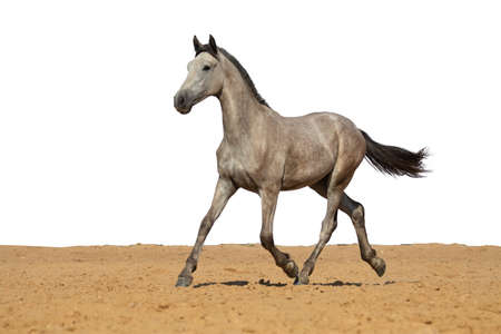 White and gray horse jumps on sand on a white background
