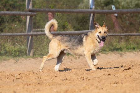 Light brown dog running in the sand