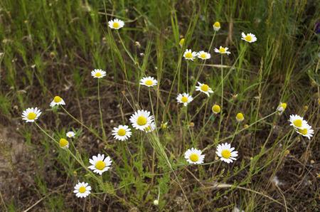 campo de margaritas: Margaritas de campo sobre un fondo de hierba verde