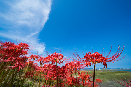 Cluster Amaryllis, Blue sky background, low angle