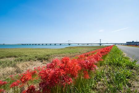 Cluster Amaryllis and Shirasagi Ohashi (Yoshino River Embankment south coast of Tokushima Prefecture) 写真素材