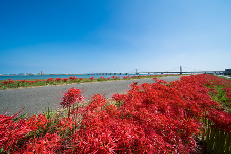 Cluster Amaryllis and Shirasagi Ohashi (Yoshino River Embankment south coast of Tokushima Prefecture) 写真素材