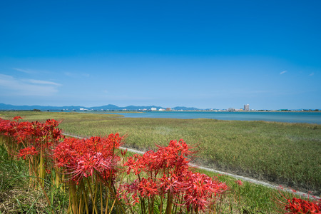 Cluster Amaryllis, Yoshino River Ohashi in the distance (Tokushima Prefecture)