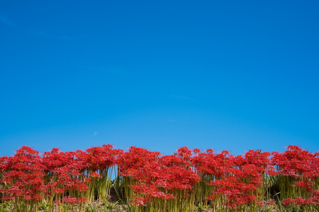 Cluster Amaryllis, Blue Sky background 写真素材