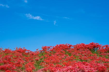 Cluster Amaryllis, Blue Sky background 写真素材