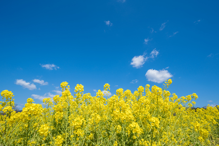 Rape blossom and blue sky.