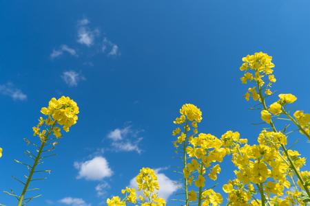 Rape blossom and blue sky. Stockfoto